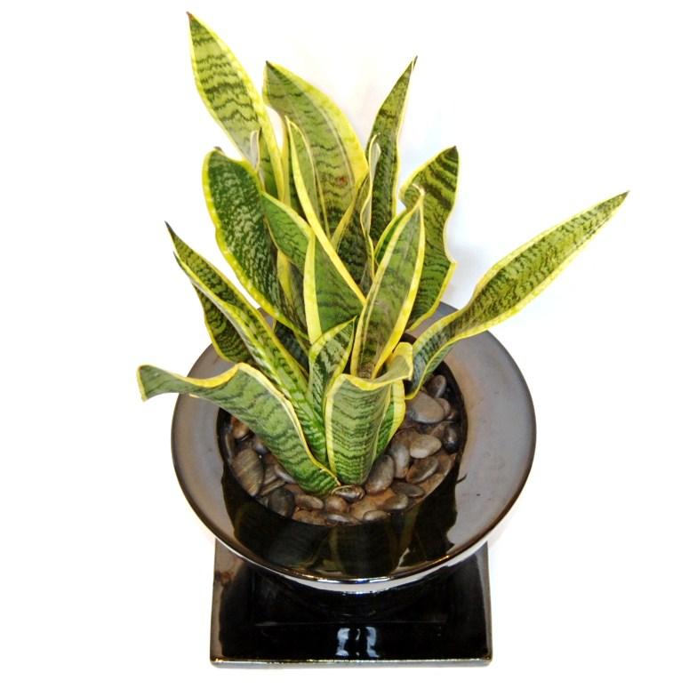観葉植物サンセベリア