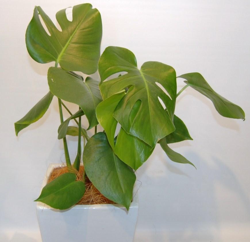 観葉植物モンステラ