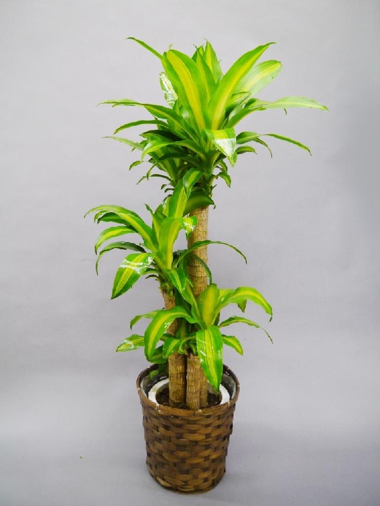 観葉植物 幸福の木(マッサン)