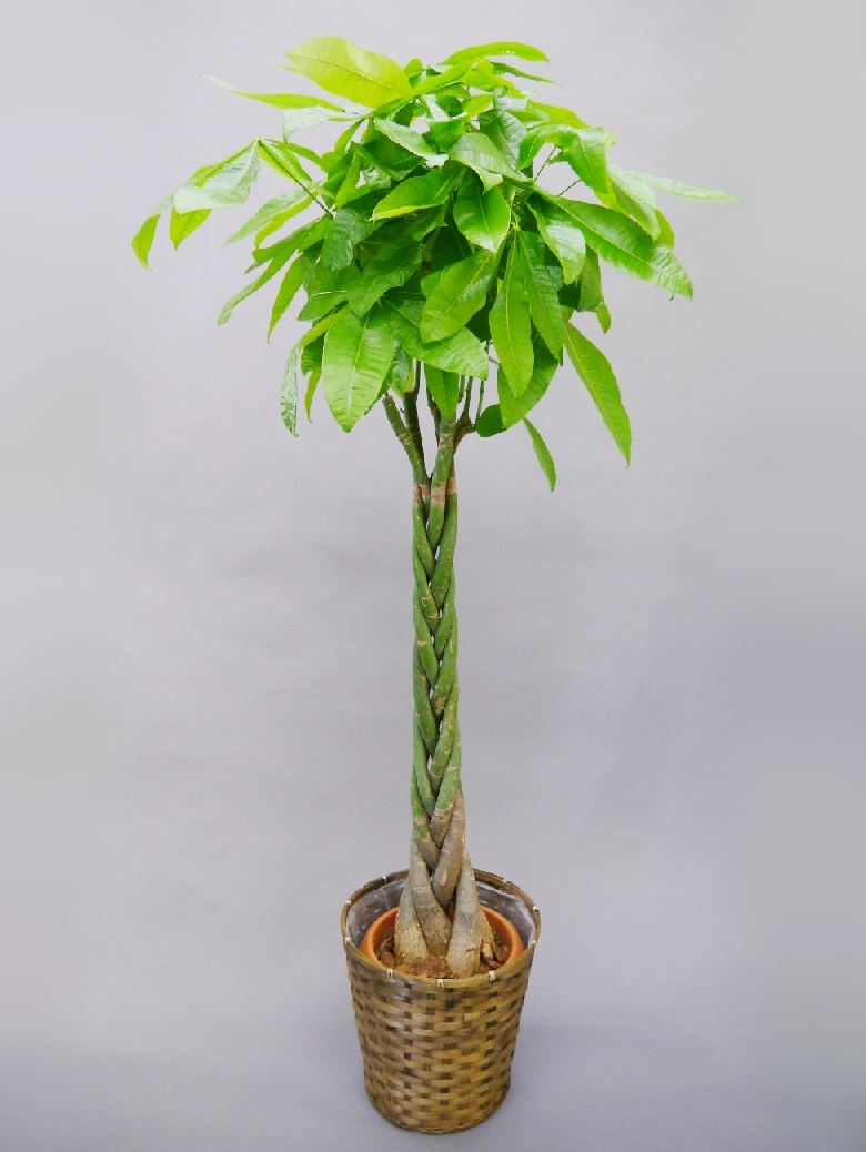 【アイテムキューブ】フラワー・ガーデニング | 観葉植物 パキラ