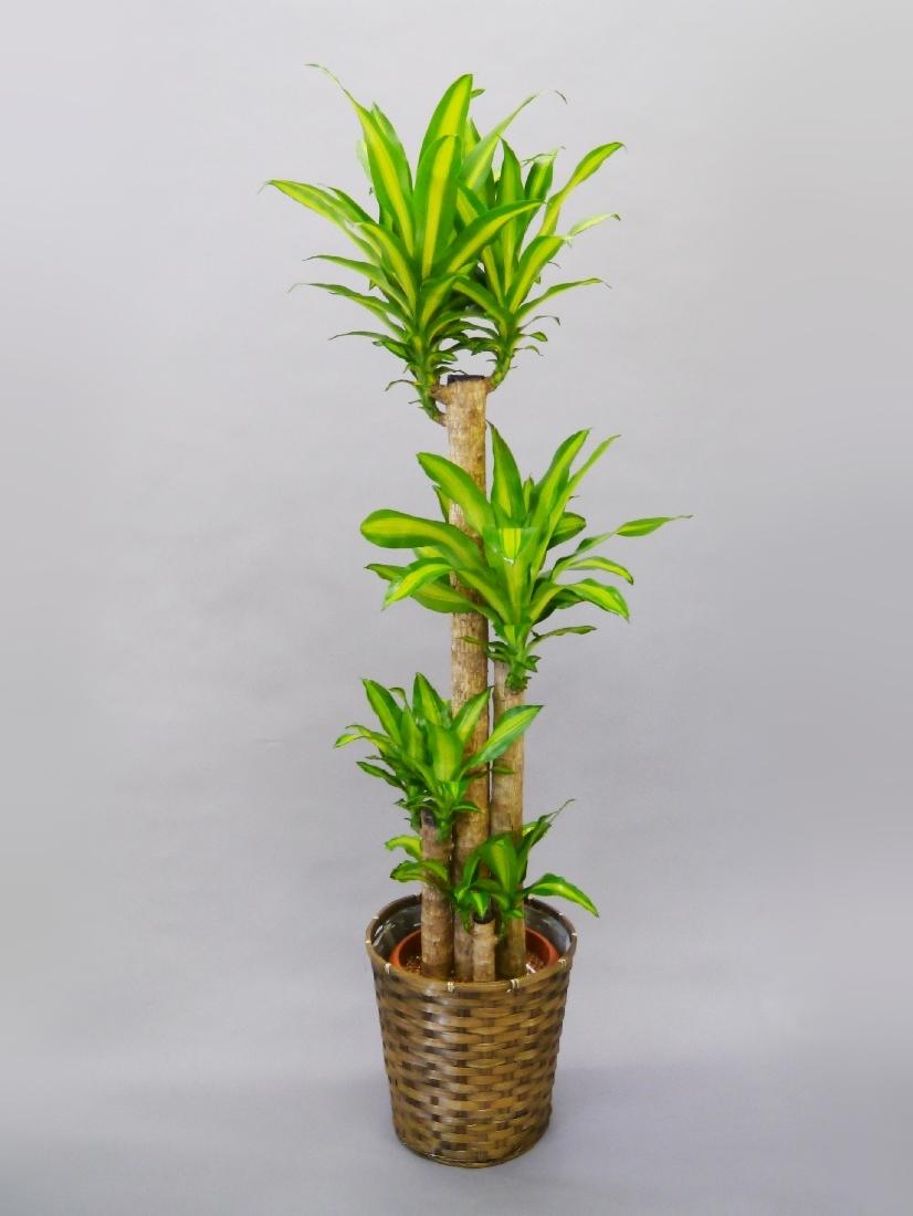 【アイテムキューブ】フラワー・ガーデニング | 観葉植物 幸福の木(マッサン)