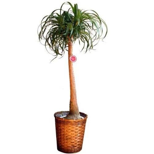 観葉植物ポニーテール